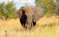 Angola's elephant population is declining despite 14 years of peace